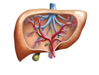 Используют для стимуляции восстановления разрушенных или поврежденных клеток печени.